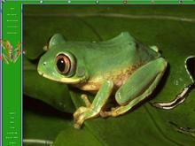 Tree Frog