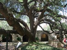 REALY OLD TREE AT THE ALAMO