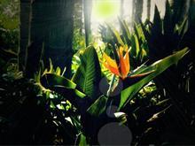 OB Paradisia