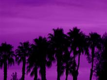 Purple Palms